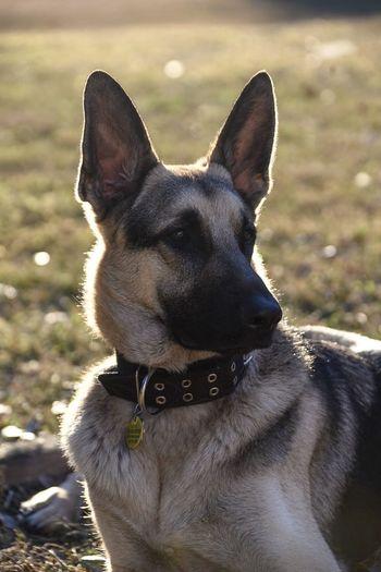 Meet Jethro. Sunset Backlit Puppy Animal Themes Fur Grass Outdoors Stare Profile Pet Photography  Pet Portraits Dog Portrait Dog