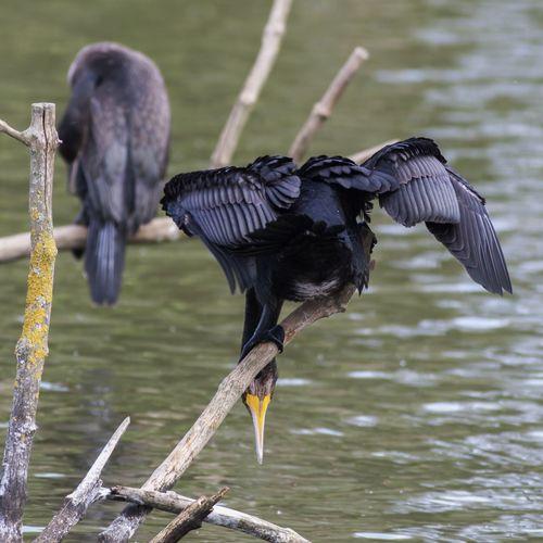 Cormorants perching on drift wood over river