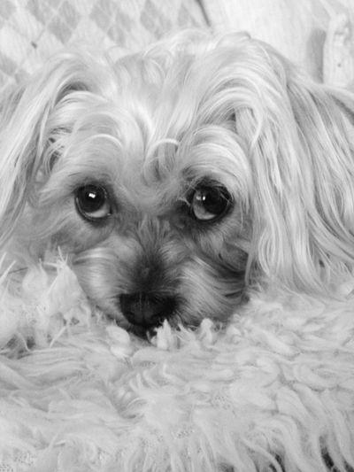Dog One Animal Animal Themes Pets Domestic Animals Mammal Looking At Camera Animal Hair Lhasa Apso Sad Eyes