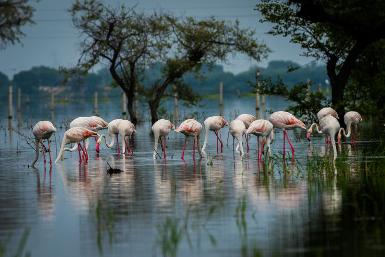 Water Animal Themes Animal Group Of Animals Lake Tree Flamingo Animal Wildlife Bird Nature Beauty In Nature Outdoors Colors Monsoon Greater Flamingo Keoladeo National Park Green Color Grass Flock Of Birds Soaring Beak Feather  Wingspan Wings Freshwater Bird