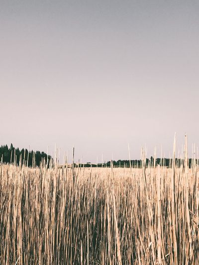 Growth Field Nature Agriculture Tranquility Crop  Tranquil Scene Rural Scene Copy Space Clear Sky No People Beauty In Nature Day Outdoors Plant Landscape Cereal Plant Scenics Sky EyeEm Best Shots EyeEm Best Edits The Week On Eyem The Great Outdoors - 2017 EyeEm Awards EyeEm Gallery
