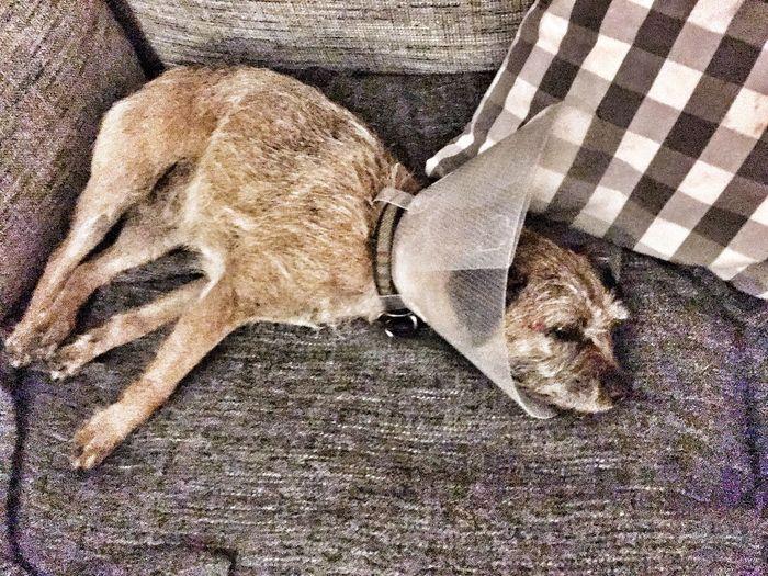 Dog Animal Themes Pets Border Terrier Veterinary Vet  Sick