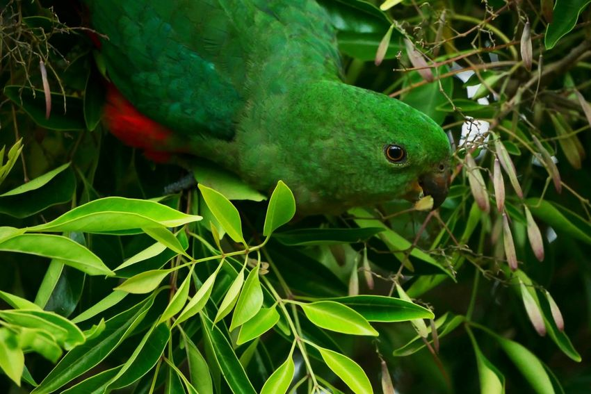 Animal Wildlife One Animal Green Color Animals In The Wild Plant Leaf Nature Close-up Animal Themes No People Outdoors Reptile Day Beauty In Nature Tree Bird Photography Cute Nature Green Color Animals In The Wild Panasonic Lumix G7 Bunya Mountains Animal Photography Birds Perching