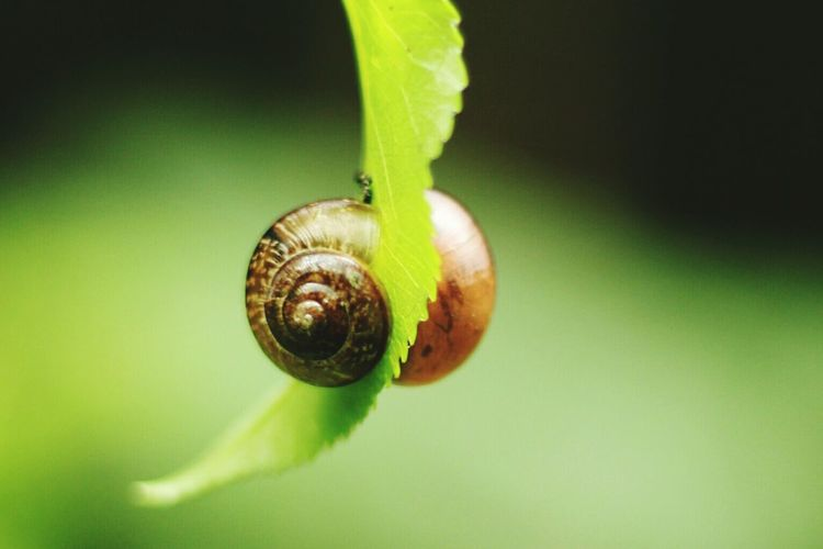 Snail Leaf Green Color Animal Themes Nature Fragility Green Focus On Foreground Freshness Macro Photography Double Snail Love