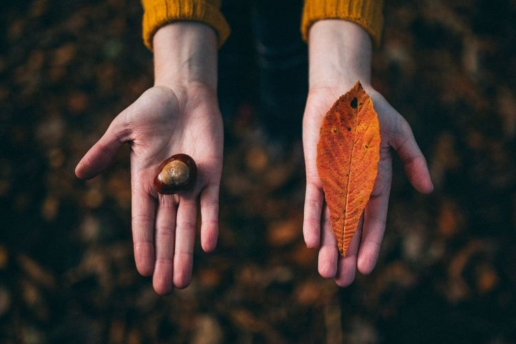 Close-Up Of Hands Holding Leaf And Chestnut