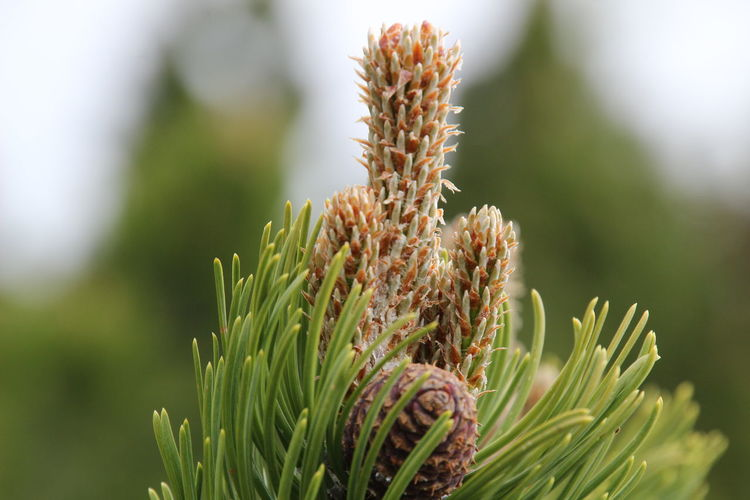 Alpine Pine Forest Alpine Landscape Beauty In Nature Close-up Day Growth Nature No People Outdoors Pine Cone Pine Cones On Pine Tree Pine Tree Pine Trees Plant Schnaps