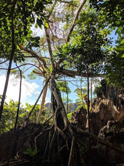 Blueskies Tree Trunk Trees And Sky Treescollection Tree Art Tree Roots  Tree Trunk Green Nature Nature Photography Georeserve Philippines Itsmorefuninthephilippines Adventre Trekking Trekkingview Tree Nature Growth Day No People Low Angle View Forest