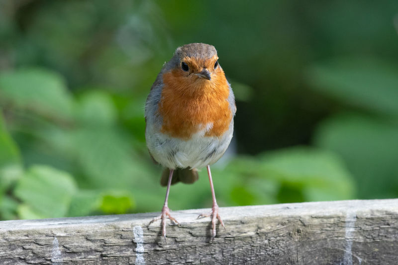 Portrait of a european robin  perching on a wooden fence