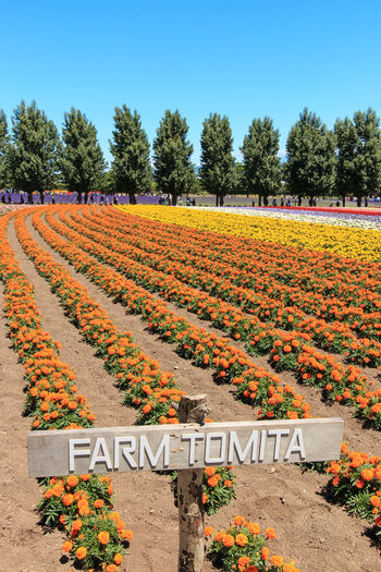 Furano, Japan - July 8,2015: flowers of the Tomita farm in Hokkaido with some tourists on background. Abundance Agriculture ASIA Beauty In Nature Biei Clear Sky Field Flower Flowers Freshness Furano Growth Hokkaido In A Row Japan Landscape Otaru Outdoors Rural Scene Scenics Spring Travel Travel Destinations Tree Yellow
