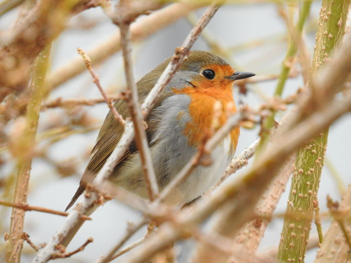 The little european robin was sitting in a forsythia Animal Themes Animal Wildlife Animals In The Wild Beauty In Nature Bird Close-up Nikon Nikonphotography No People One Animal Outdoors P900 Robin