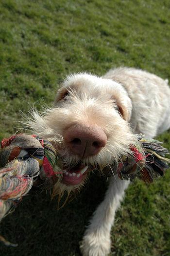 Spinone Dog Pet