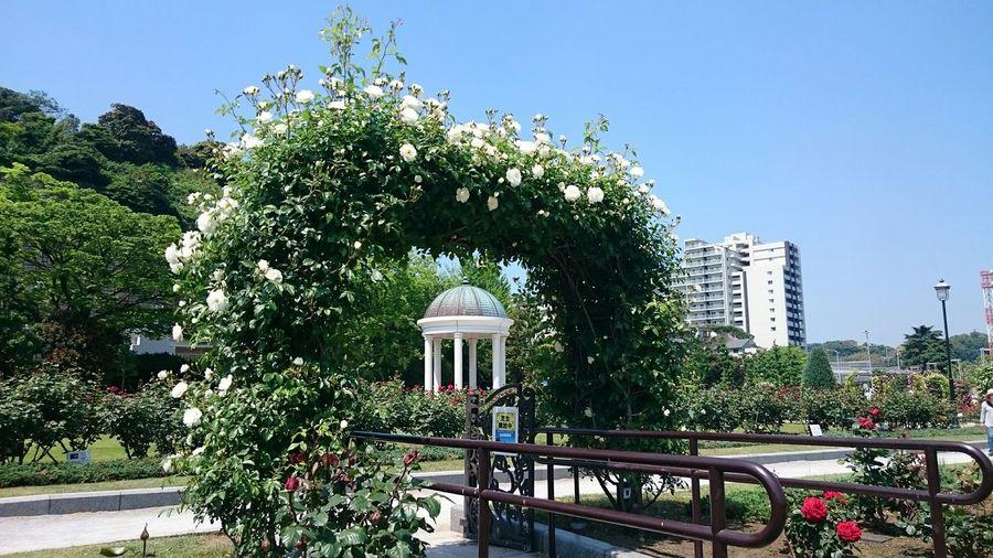 A gate of roses. 横須賀ヴェルニー公園では彩豊かな薔薇が咲き乱れています(^-^) ~カメログまたここで~ Roses Flowers Eyeemflowerlover Japan Taking Photos Photography EyeEm Best Shots