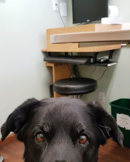 Oh no....the vet says Doc has a broken heart 💔 😢 Eye Em A Dog Dog Pet Pets Domestic Animals Black Labrador Indoors  Looking At Camera Close-up Sad Eyes Animal Themes Veterinarian Broken Heart