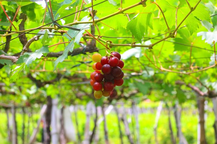 fresh grapes Fruit Tree Food And Drink Red Healthy Eating Food Branch Day No People Outdoors Freshness Agriculture Plant Hanging Nature Grapes Grapevine Grapevines  Vineyard Launion Launionphilippines Philippines Bauang