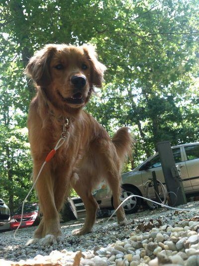 IPhone 4 IPhone IPhone Photography Golden Retriever Dog