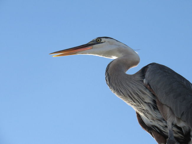 Under a Blue Heron Animal Head  Animal Themes Animals In The Wild Beak Beauty In Nature Big Bird Bird Blue Clear Sky Feathers Low Angle View Nature No People One Animal Outdoors Tranquility Wildlife