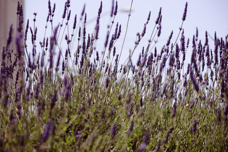 Close-up of lavender plants on field