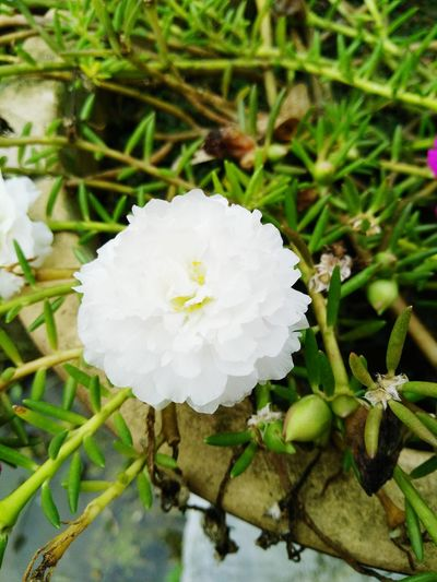 Crafted Beauty Close-up Nature Flower Plant Beauty In Nature Growth Flower Head Leaf Fragility White Flower Petals My Garden @my Home