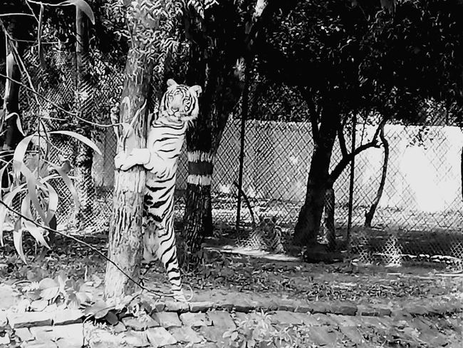 Tree Outdoors No People Day Nature Adapted To The City SaveAnimals Animal Wildlife Animal Themes Tigers❤ Tiger Love Tiger Pride Save Tigers Black Blackandwhite