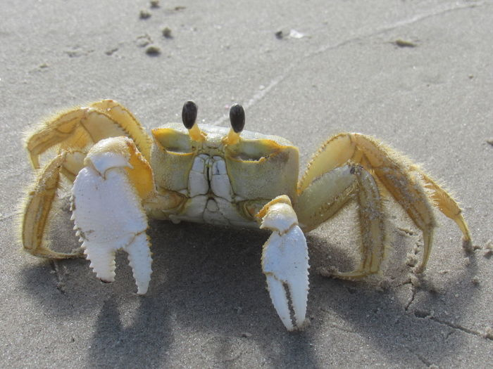 Crab Black Eyes Claws Close Up Day Ground Crawlers Ground View Gulf Of Mexico High Angle View Overhead View Pinchers Sand Seafood Six Legs Surface Level Yellow And White
