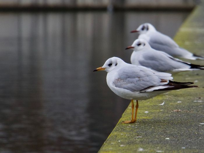 Animal Themes Animal Wildlife Animals In The Wild Beak Beauty In Nature Bird Close-up Day Focus On Foreground Lake Nature No People One Animal Outdoors Perching Seagull Water