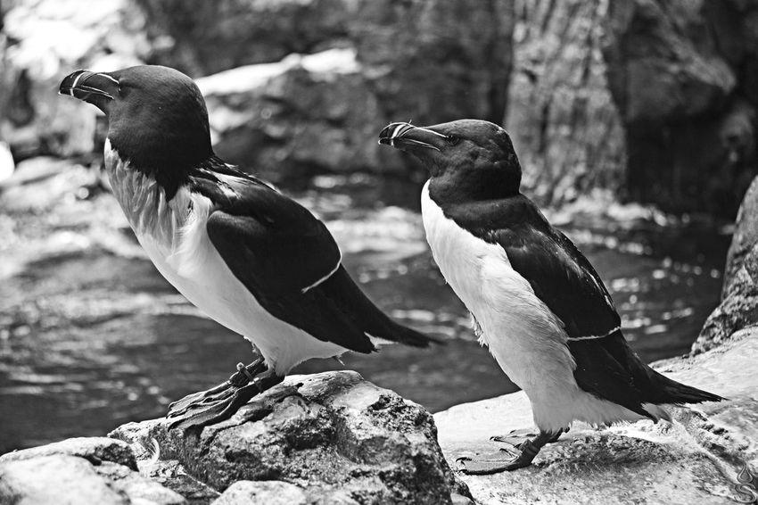 Animal Animales Animali Animals Bianco E Nero Bianco&nero Biancoenero Biancoenerophoto Bianconero Black & White Black And White Black And White Collection  Black&white Blackandwhite Canon Pinguin Pinguini Pinguins  Pingüino
