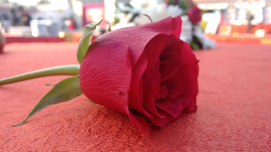 Redrose  FlowerofLove Nofilternoedits