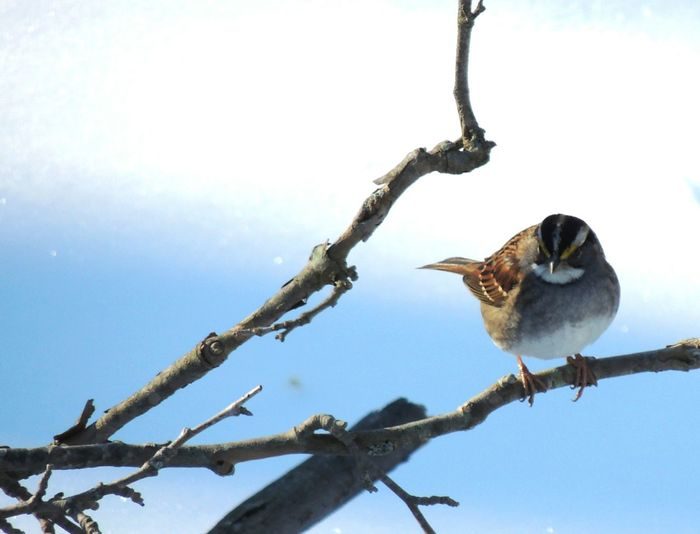 Animal Themes Animals In The Wild Bird Branch Nature One Animal Perching Snow Sparrow Sparrow In The Sn Tree Winter
