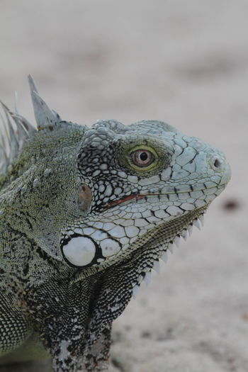 Animal Wildlife Beach Caribbean Delicatesse Close-up Day Dragon Dragon Like Iguana Nature One Animal Outdoors Reptile