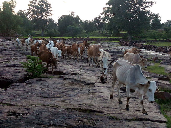 Village Scene Cow Cows Cows In The Feilds Mobile Photography india
