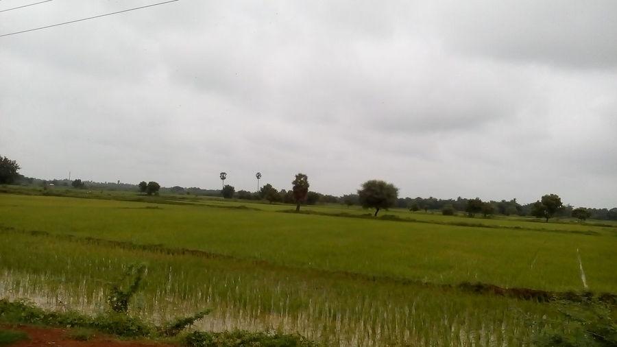 Rice Paddy Tree