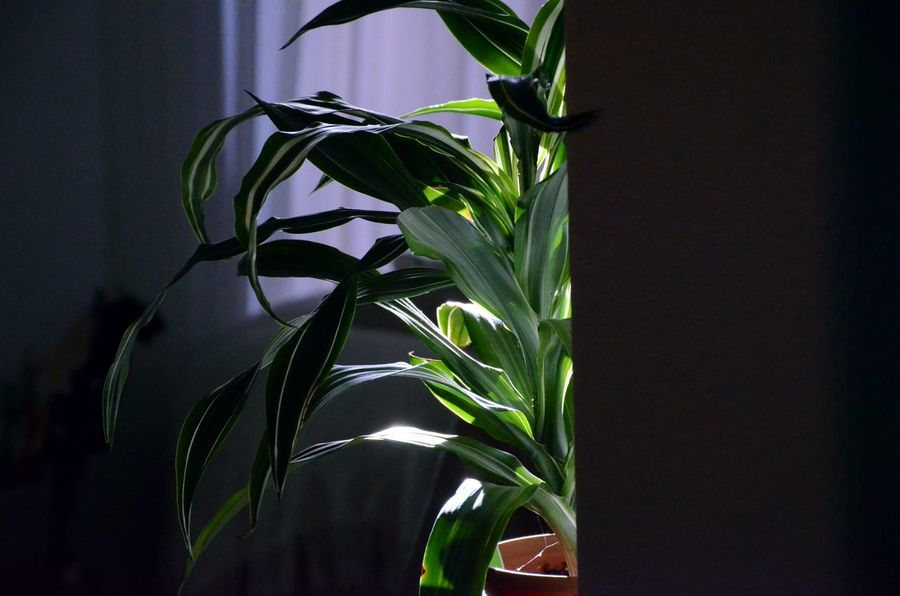 Beauty In Nature Close-up Contrast Day Fragility Freshness Green Color Growth Houseplant Indoors  Leaf Nature No People Plant Shadow And Light Shadowy Sunlight On Leaves