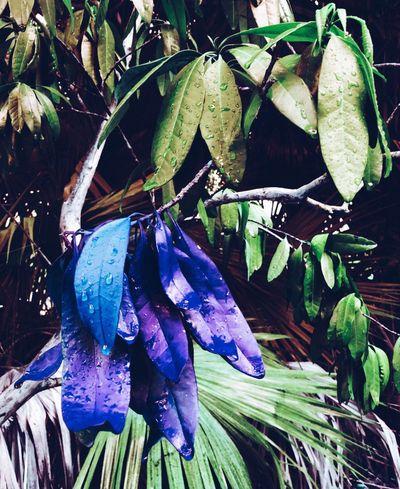 Aliceinwonderland Blue