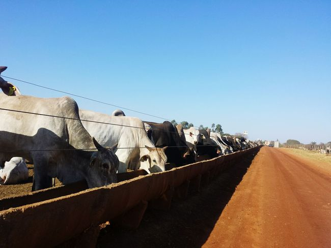 EyeEm Selects Cattle Breeding Wealth Confinement Confined Area Dirt Road Feeding Animals