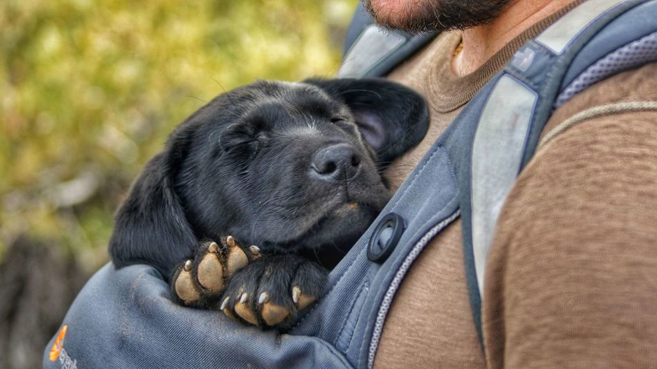 Puppy Pupylove Hiking EyeEmNewHere Pets Dog Close-up Black Labrador Labrador Retriever Pet Clothing Pampered Pets