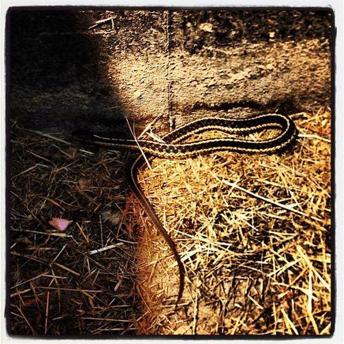 Slithering Creatures. #miltonvt #snake Garter_snake Slither Garden Slithering IPhoneography Snake Photooftheday Hate Vermont Non Instamood Dislike Instagood Vt Yucks Miltonvt Garter