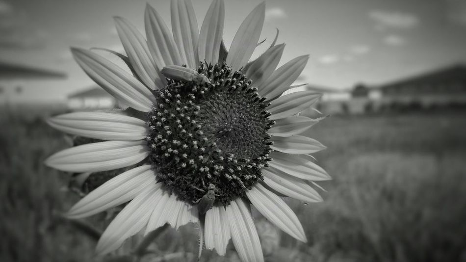 Take as you please Black And White Sunflower Bugs Taking Photos EyeEm Best Edits Hanging Out