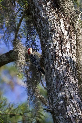 Bird Photography Melanerpes Carolinus Red Bellied Wood Pecker Animal Wildlife Animals In The Wild Beauty In Nature Bird Branch Woodpecker