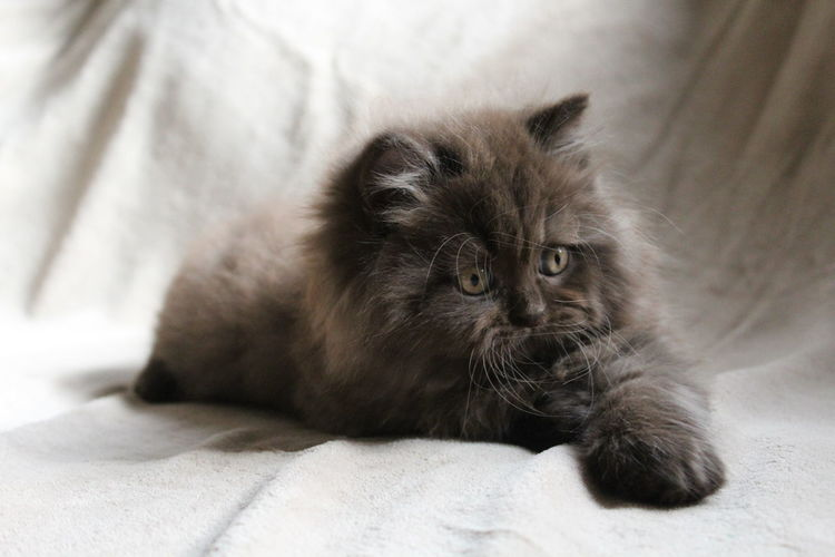Close-up of british longhair kitten lying on bed at home