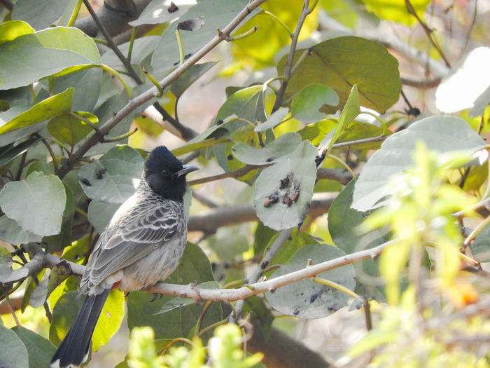 Red vented bulbul Bulbul Passerine Songbird  Red Vented Bulbul Indian Perched Sitting Outdoors Bird Perching Tree Branch Leaf Animal Themes Plant Songbird