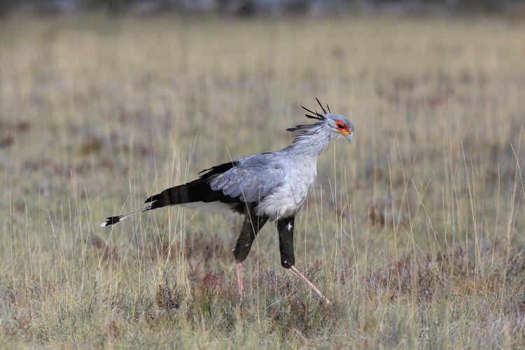 Side view of secretarybird on field