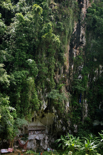 Hill burial place, in Tana Toraja Sulawesi Selatan. Beauty In Nature Day Forest Funeral Green Color Growth Lush - Description Lush Foliage Manene Mummy Nature No People Outdoors Postcard Print Rock Tana Toraja Tradition Traditional Culture Tranquility Travel Destinations Tree Wallpaper Wonderful