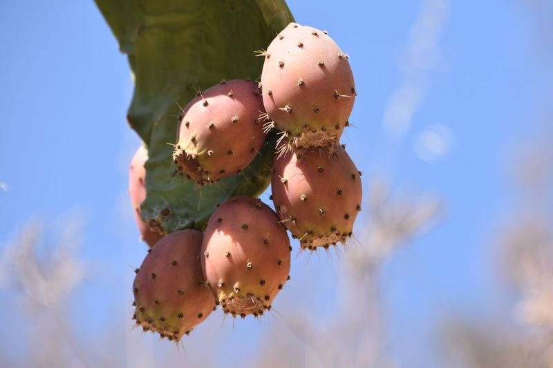 Figs Fruit Plant Cactus Nature Growth Close-up Sky Prickly Pear Cactus Succulent Plant Focus On Foreground Low Angle View Healthy Eating