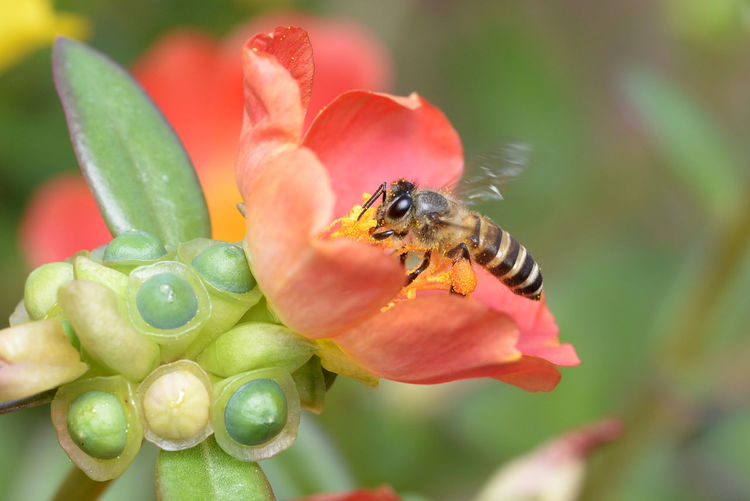Animal Animal Themes Animal Wildlife Animals In The Wild Beauty In Nature Beauty In Nature Bee Close-up Flower Flower Head Flowering Plant Focus On Foreground Fragility Freshness Growth Insect Invertebrate Nature No People One Animal Petal Plant Pollen Pollination Vulnerability