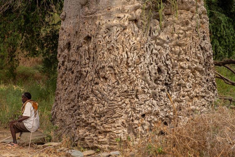 Baobab Aksum Axumite Society Tree Nature Tree Trunk Trunk Baobab Baobab Tree