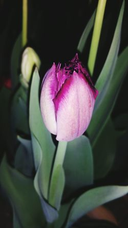 Tulipanes🌷 Tulips Spring Tulipani Tulip Festival Tulips In The Springtime Tulip Love Tulipseason Flower Head Beauty In Nature Tulips🌷 Tulipanes Tulips, Flowers, Garden TULIPES Tulipfieldsexperience Tulips Flowers Tulip Flowers Tulipano Tulipan Tulipmania Sunlover Green Color Tulip Tree Tulip Poplar Tulipe Flower