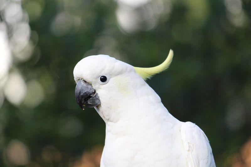 Close-up of sulphur crested cockatoo