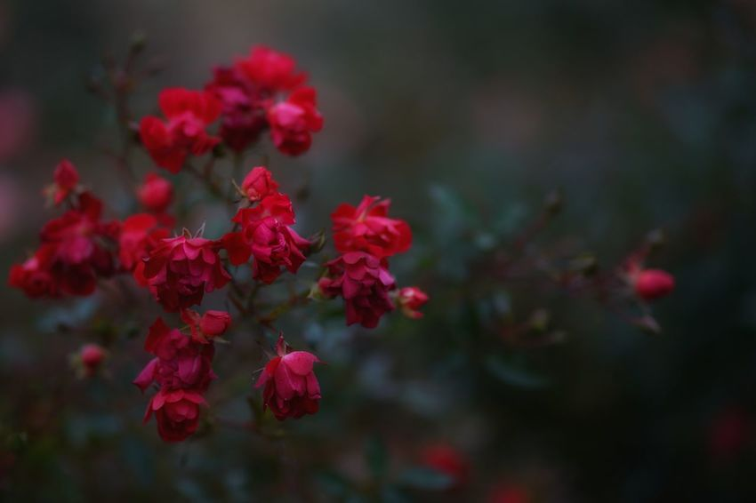 Capture The Moment Darkness Red Flower Uzuki Of The Flower Depth Of Field Bokeh Photography Fragility Still Life Fine Art Macro Beautiful Nature Plant Close-up Macro Fantasy Focus On Foreground Abstract Landscapes Snapshots Of Life Full Frame Detail Sigma EyeEm Best Shots 16_12