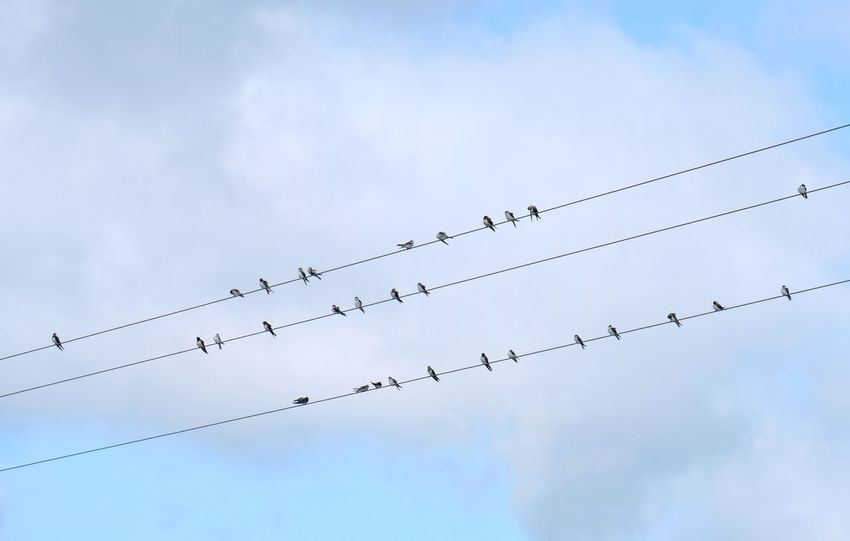 Swallows on a wire Bird Photography Birds Of EyeEm  Hirundinidae Ready To Flyaway Ready To Go Waiting In Line Animal Themes Animals In The Wild Birds Birds Sitting Cloud - Sky Flock Of Birds Large Group Of Animals Low Angle View Migrating Migrating Birds Migratory Birds No People Passerine Ready To Fly Swallows Telegraph Wire