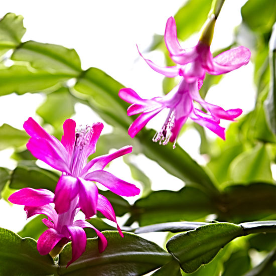 Zimmerpflanzen EyeEm Best Shots EyeEm Nature Lover EyeEmNewHere Schlumbergera Truncata Schlumbergerablüten Beauty In Nature Blooming Close-up Day Flower Flower Head Fragility Freshness Green Color Growth Leaf Nature No People Outdoors Petal Pink Color Plant Purple Schlumbergera